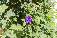 Фиолетовый цветок гороха бабочки Стоковое Изображение