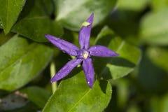 Фиолетовый цветок голубой звезды Стоковая Фотография RF