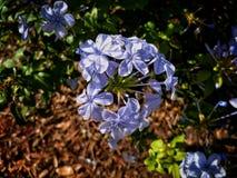 Фиолетовый цветок группы Стоковое Изображение RF