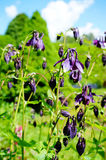 Фиолетовый цветок европейское columbine (Aquilegia vulgaris) в sunn Стоковые Изображения RF