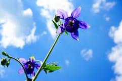 Фиолетовый цветок европейское columbine (Aquilegia vulgaris) в sunn Стоковые Фотографии RF