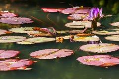 Фиолетовый цветок и Lilypads лилии воды в северном пруде Georgia Стоковые Фотографии RF
