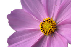Фиолетовый цветок космоса в белизне Стоковое Фото