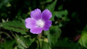 Фиолетовый цветок Коста-Рика Стоковые Изображения RF