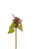 Фиолетовый цветок мертвой крапивы Стоковые Изображения RF