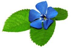 Фиолетовый цветок на зеленых лист. Крупный план на белой предпосылке. стоковое изображение