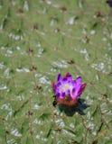 Фиолетовый цветок на лилии Gorgon Стоковое Фото
