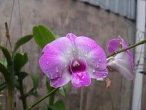 фиолетовый цветок оркестра в моем естественном саде Стоковое Изображение RF