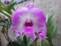 фиолетовый цветок оркестра в моем естественном саде Стоковые Изображения