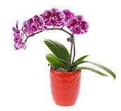 Фиолетовый цветок орхидеи в баке Стоковое Изображение RF