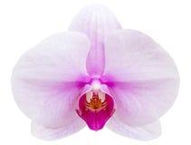 Фиолетовый цветок орхидеи фаленопсиса изолированный на белизне Стоковые Фотографии RF