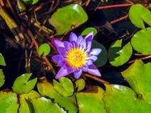 Фиолетовый цветок лотоса в малом пруде Стоковые Изображения RF