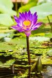 Фиолетовый цветок лотоса в Таиланде Стоковое Изображение