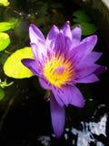 Фиолетовый цветок лотоса Стоковые Изображения RF