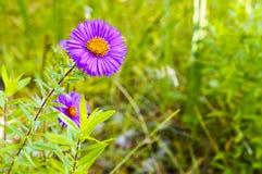 Фиолетовый цветок против запачканной предпосылки Стоковые Изображения