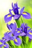 Фиолетовый цветок радужки стоковое фото