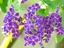 Фиолетовый цветок, другое падение росы имени золотое Ягода и небо голубя цветут, Duranta малый цветок на букете Стоковая Фотография RF