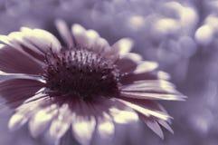 Фиолетовый цветок сада на бело-фиолетовом запачканном bokeh предпосылки Конец-вверх вектор детального чертежа предпосылки флорист Стоковые Фото