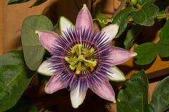 Фиолетовый цветок страсти Стоковые Фотографии RF