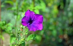 Фиолетовый цветок с запачканной предпосылкой Стоковые Изображения RF