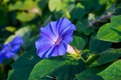 Фиолетовый цветок с зеленой предпосылкой, цветенем Pupurea ипомея полностью Стоковое Изображение