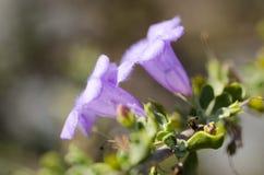 Фиолетовый цветок трубы с меховыми лепестками Стоковые Фото