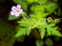 Фиолетовый цветок луга Стоковое Изображение