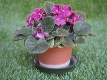 Фиолетовый цветок узамбарской фиалки Стоковая Фотография