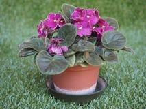 Фиолетовый цветок узамбарской фиалки Стоковые Фотографии RF