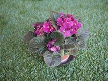 Фиолетовый цветок узамбарской фиалки Стоковое фото RF