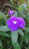 Фиолетовый цветок цвета Стоковые Фотографии RF