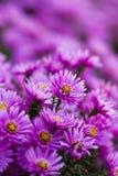 Фиолетовый цветок Стоковая Фотография
