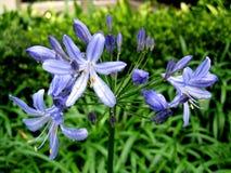 Фиолетовый цветок Стоковое Изображение