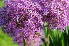 Фиолетовый цветок Christophii лукабатуна Стоковые Фото