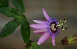 Фиолетовый цветок maypop Стоковое Фото