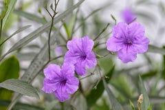 Фиолетовый цветок minnieroot или хлопая стручок в саде флоры Стоковая Фотография