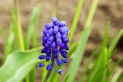 Фиолетовый цветок Muscari на предпосылке травы весной стоковая фотография rf