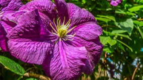 Фиолетовый цветок pansy Стоковые Фотографии RF