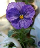 Фиолетовый цветок pansy Стоковое Фото