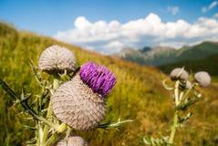 Фиолетовый цветок thistle Стоковая Фотография
