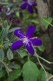 Фиолетовый цветок Tibouchina Стоковое фото RF