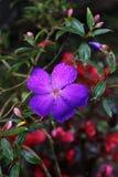 Фиолетовый цветок Tibouchina Стоковые Изображения RF