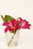 Фиолетовый Bauhinia Стоковые Изображения