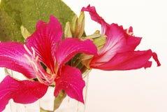 Фиолетовый Bauhinia Стоковое Изображение RF