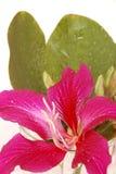 Фиолетовый Bauhinia Стоковое фото RF