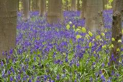Фиолетовый bluebell Стоковые Изображения