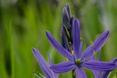Фиолетовый Camas Стоковая Фотография
