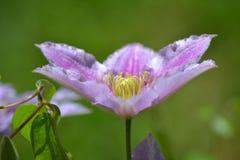 Фиолетовый Clematis Стоковое Фото