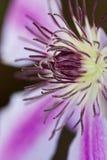 Фиолетовый Clematis Стоковые Изображения