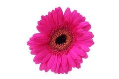 Фиолетовый gerbera на белой предпосылке Стоковые Фото